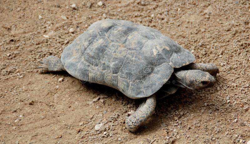Little Tortoise wanting out to the free royalty free stock image