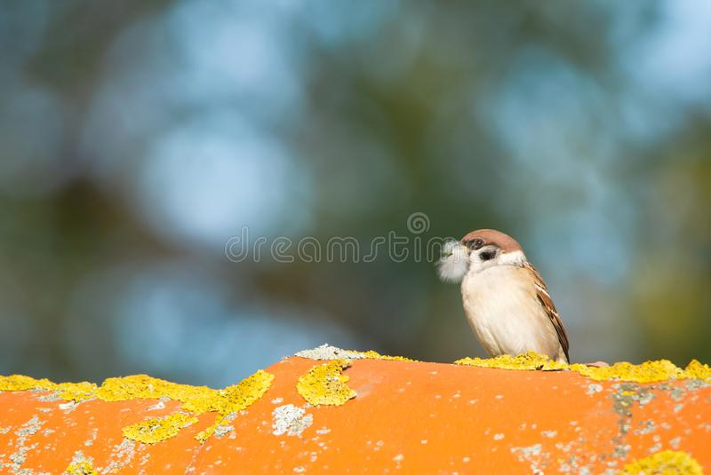 Little tree sparrow with a feather in the bill on a roof on a wonderful autumnal bokeh background. Little tree sparrow with a feather in the bill sitting on a royalty free stock image
