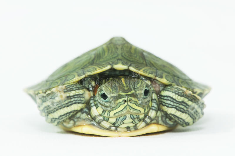 Little turtle royalty free stock images