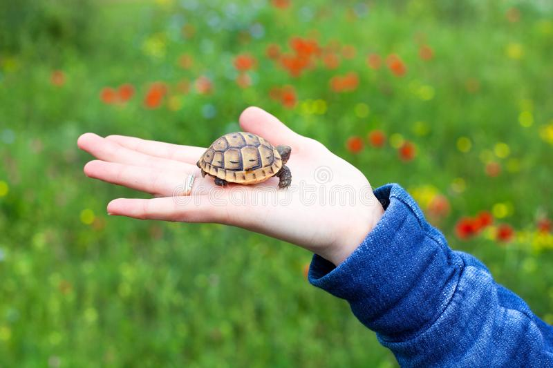 Little turtle cub in female hand background green field with multi-colored flowers closeup macro royalty free stock photos