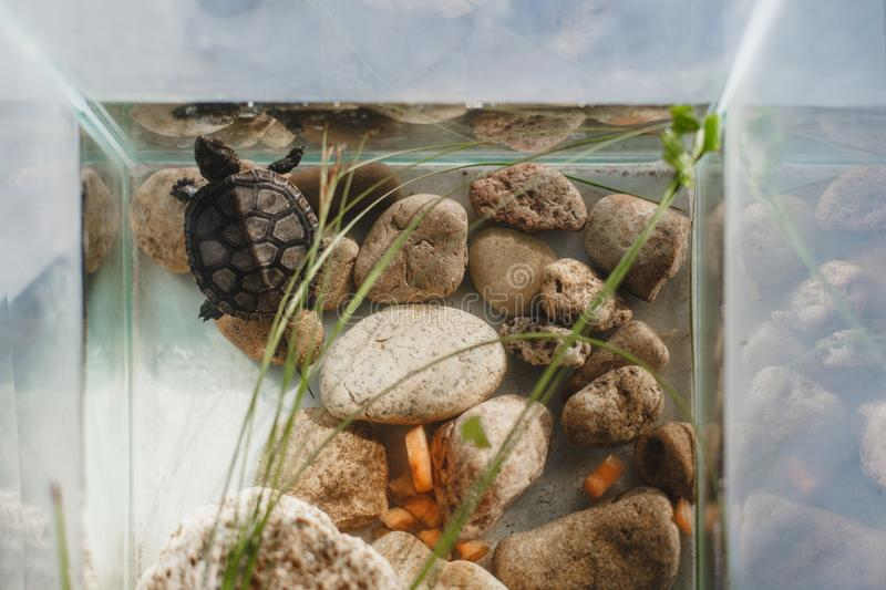 Little turtle in a water in aquarium. royalty free stock photos