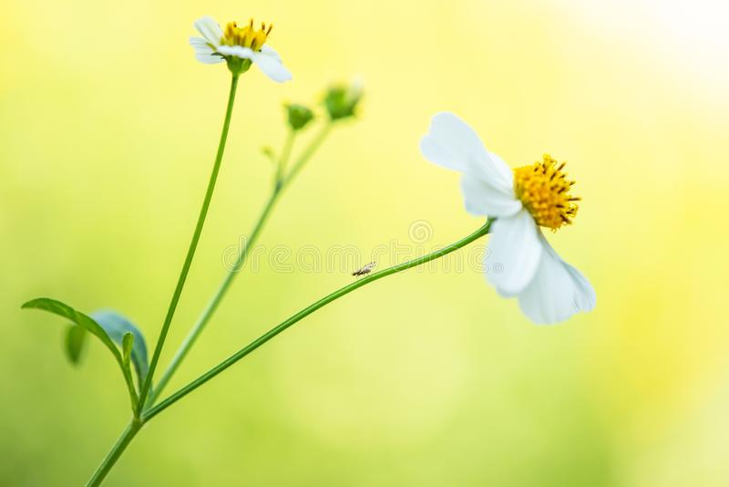 A little unknown insect on the stalk of wild flowers. White wild flowers are in bloom in blurred field backgrounds. Natural spring royalty free stock photo