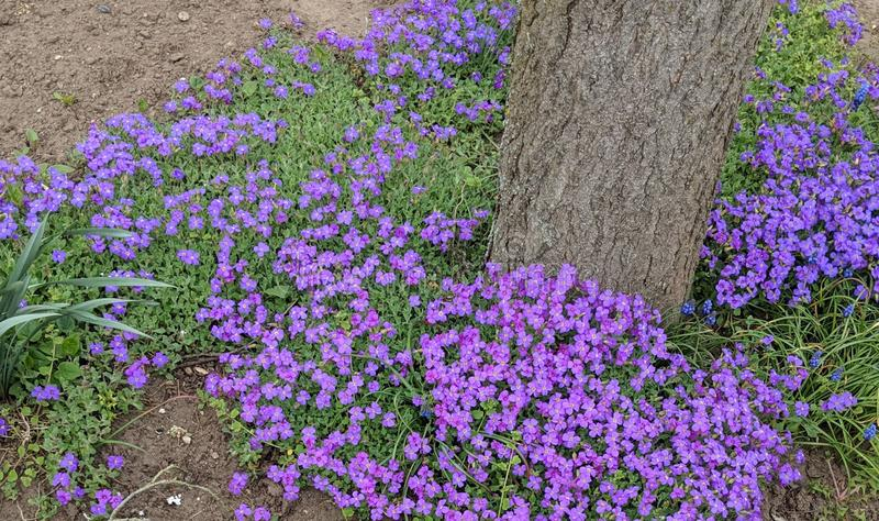 Little violet flowers growing around a tree. stock images