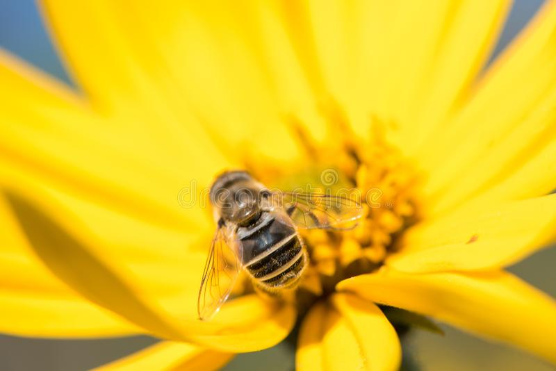 Little wasp collects nectar from flower Jerusalem artichoke in t royalty free stock photos