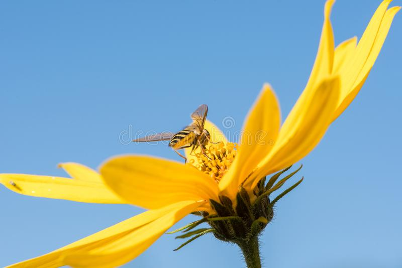 Little wasp collects nectar from flower Jerusalem artichoke in t stock photography