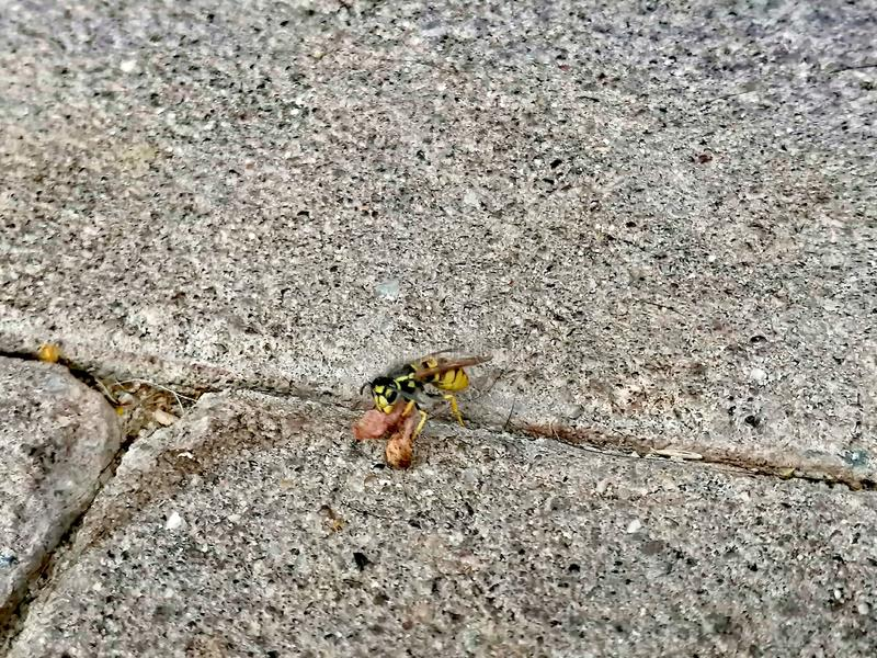 Little wasp on the ground royalty free stock images