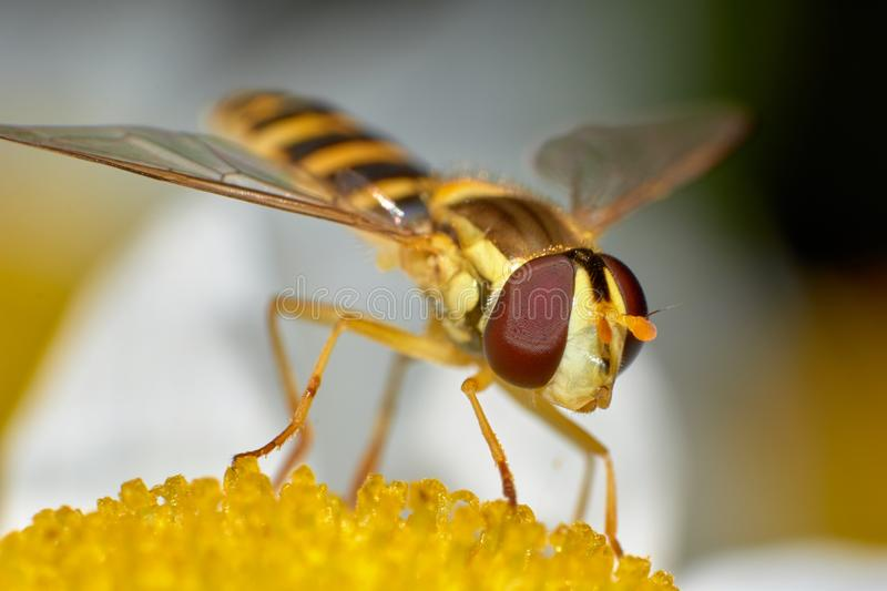 Little wasp standing on flower royalty free stock photo