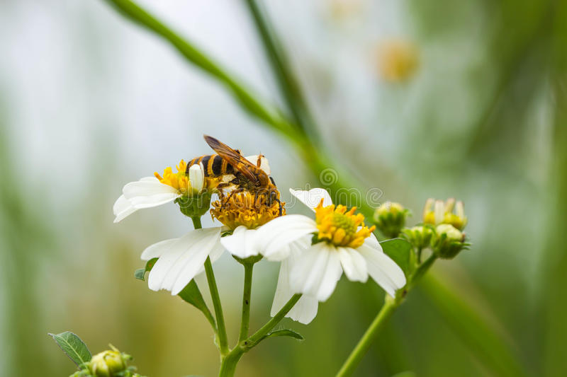 Little wasp on a wild flower royalty free stock photos