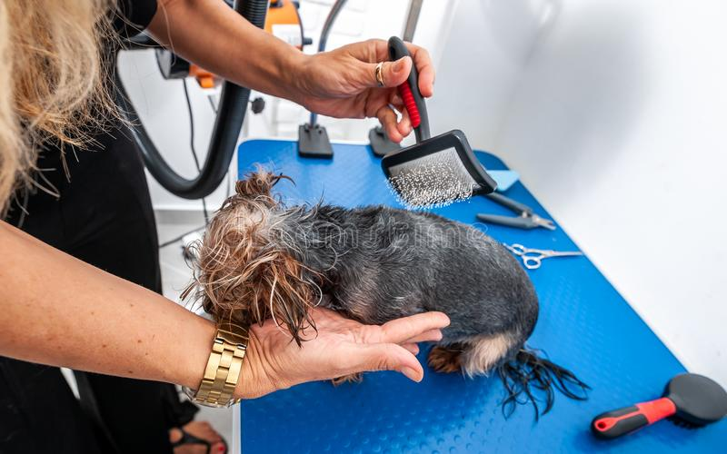 Little wet cute and beautiful purebred Yorkshire Terrier dog enjoying in grooming with animal brush by groomer and cleaning after royalty free stock images