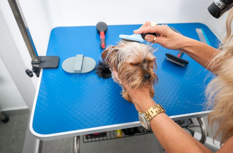 Little wet cute and beautiful purebred Yorkshire Terrier dog enjoying in grooming and cleaning after bathing in the pet spa.  royalty free stock images
