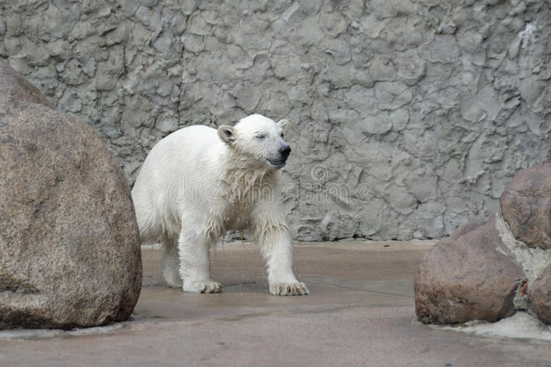 Download Little wet polar bear stock image. Image of northern - 14848933