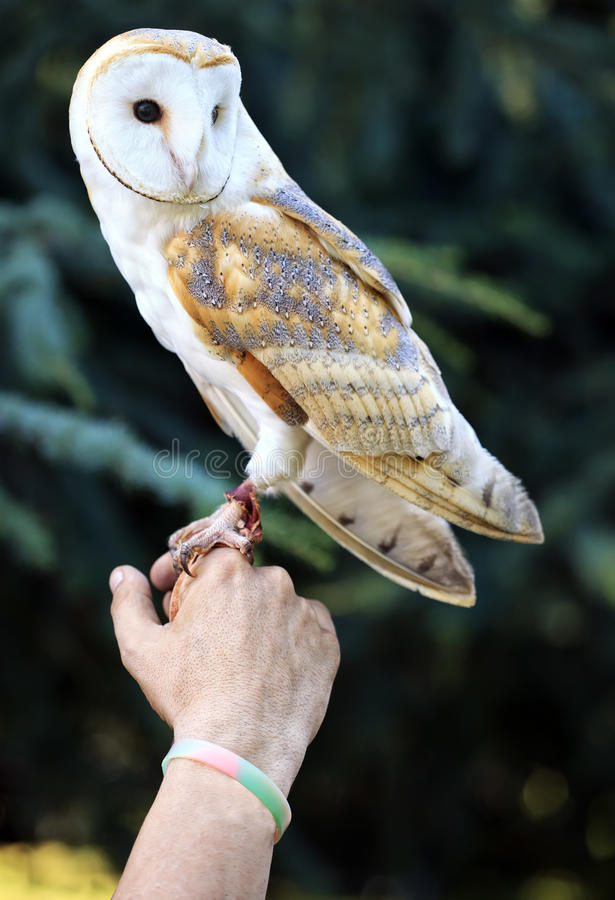 Download A Little White Barn Owl, Tyto Alba, Italy Stock Image - Image: 26882709