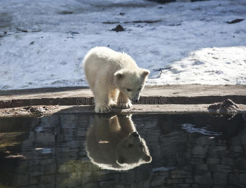 Little white bear looks with surprise at his reflection in the water. Zoo royalty free stock photos