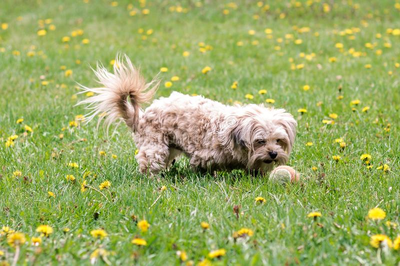 Little white bichon dog with a ball in a dandelion field royalty free stock images