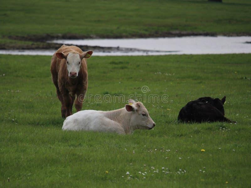Little White Bull Free Public Domain Cc0 Image