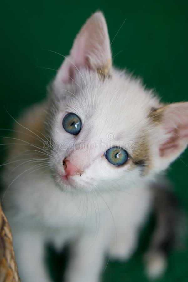 Little white cat with blue eyes sitting on the green carpet. Little white cat with blue eyes sitting on the green carpet royalty free stock photography