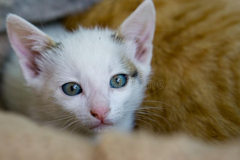 Little white cat lay with yellow cat in background. Little white cat lay with yellow cat in background royalty free stock images