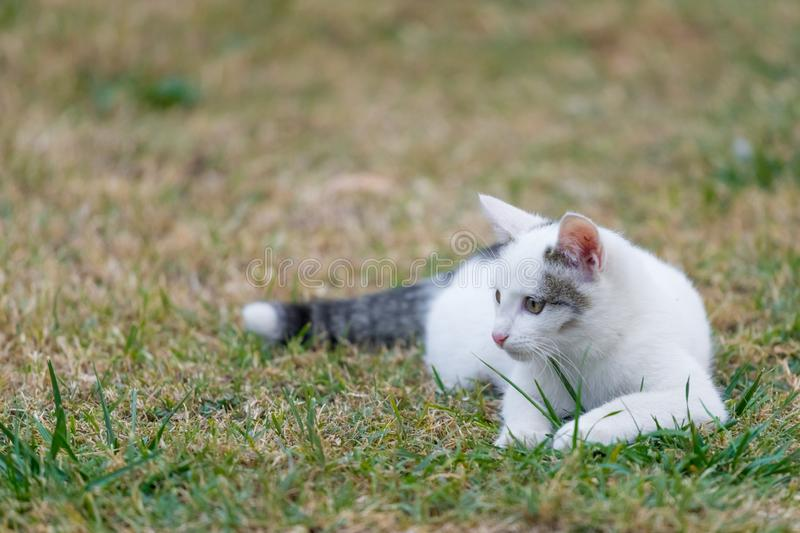 A little white cat is laying on the grass.  royalty free stock photos