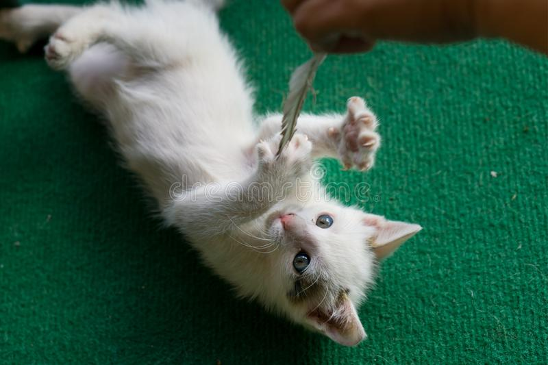 Little white cat playing with feather. Kitty lay on green carpet. Little white cat playing with feather. Kitty lay on green carpet stock images