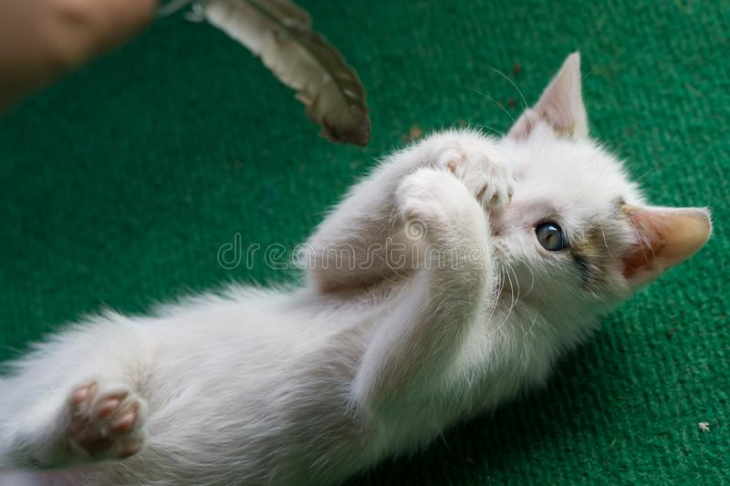 Little white cat playing with feather. Kitty lay on green carpet. Little white cat playing with feather. Kitty lay on green carpet royalty free stock image
