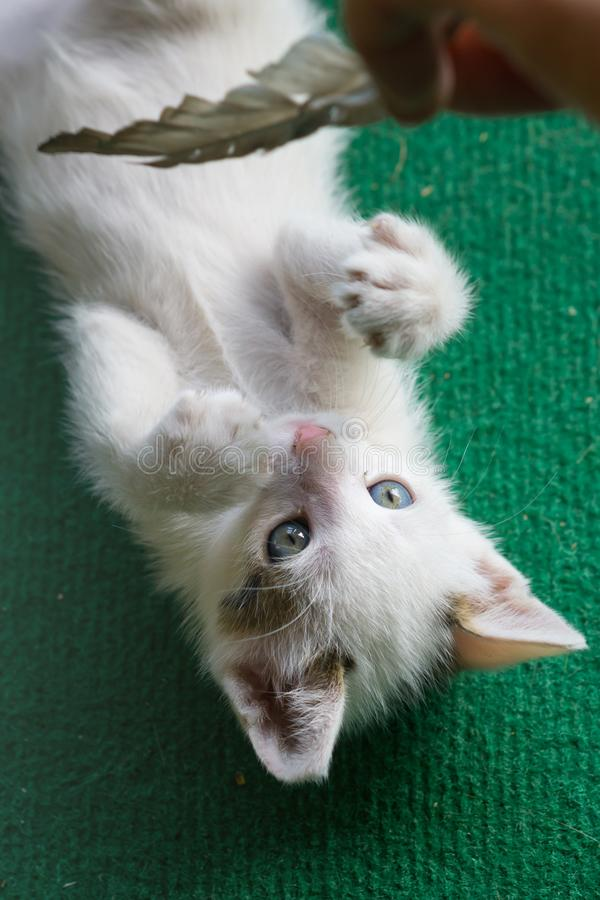 Little white cat playing. Kitty lay on green carpet. Little white cat playing. Kitty lay on green carpet royalty free stock images
