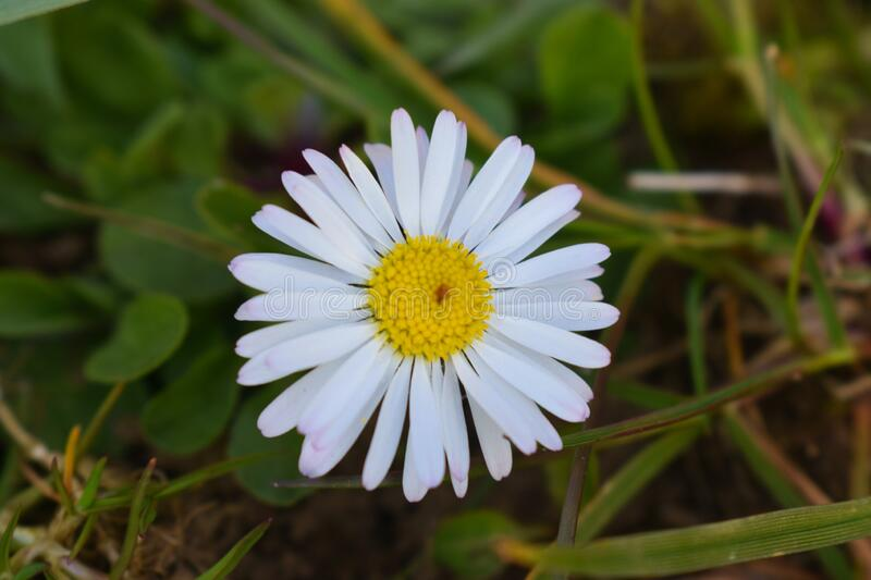A little white daisy royalty free stock photo