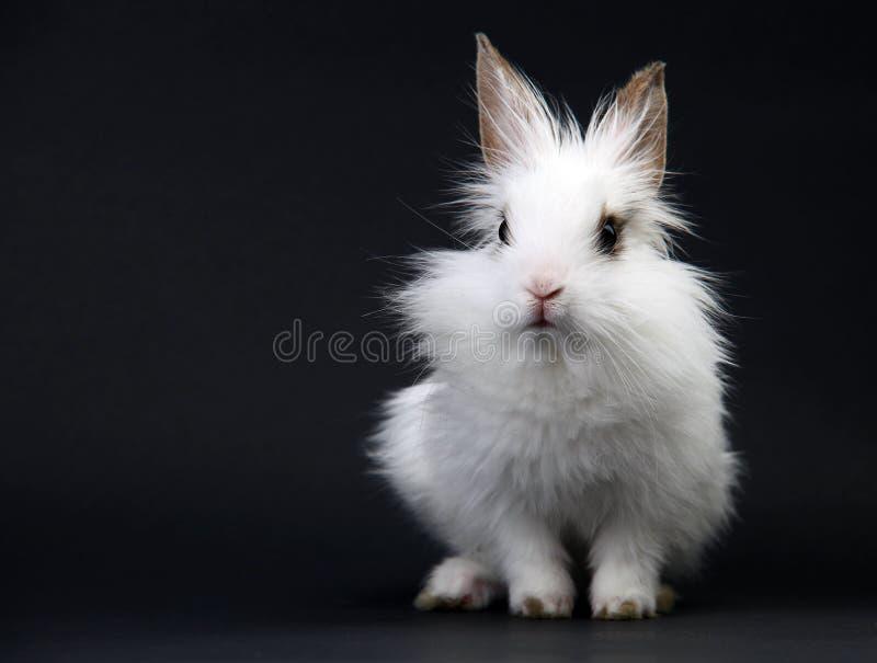 Little White Domestic Rabbit stock image