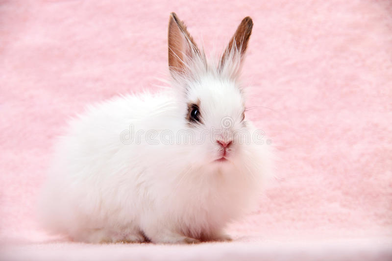 Little White Domestic Rabbit on Pink Background stock photography