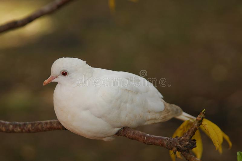 Little white dove on a tree branch against dark blurred background. Symbolizing peace stock photography