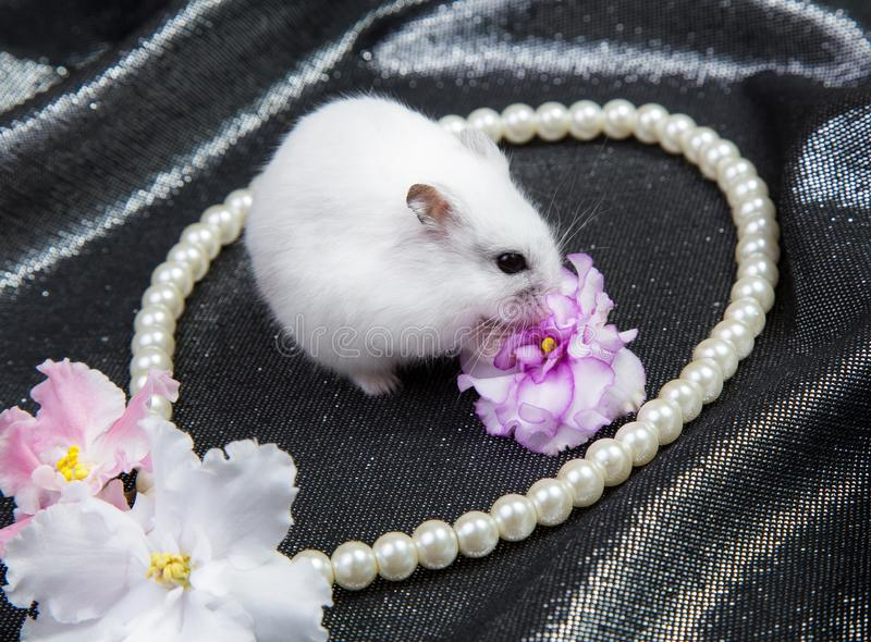 Little white dzungarian hamster on a background with a necklace and flowers of violet. Little white dzungarian hamster on a black background with a necklace and stock images