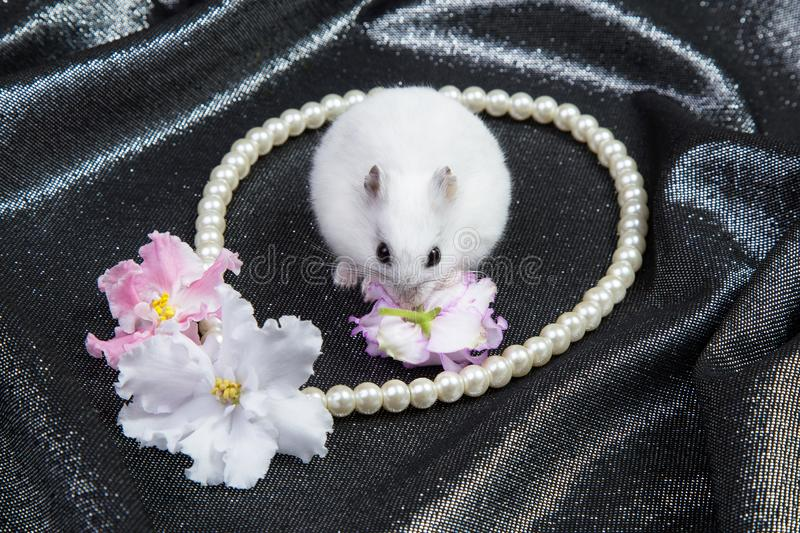 Little white dzungarian hamster on a background with a necklace and flowers of violet. Little white dzungarian hamster on a black background with a necklace and royalty free stock photo