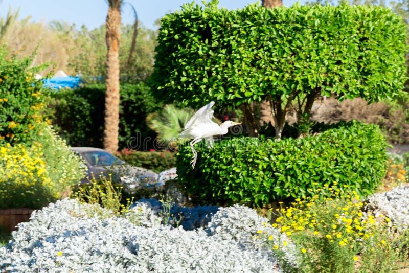 Little white egret in flying in sunny Egypt royalty free stock image
