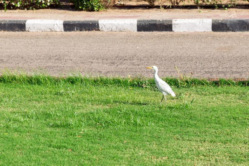 Little white egret on grass in sunny Egypt. Latin Ardea alba against a background of green foliage, white flowers royalty free stock photography