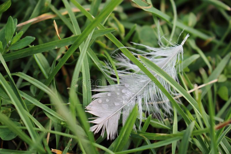 Little white feather hiding in green grass royalty free stock images