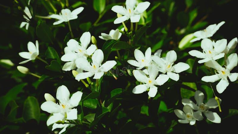 Little white flower blooming   dark tone  filter effect royalty free stock image