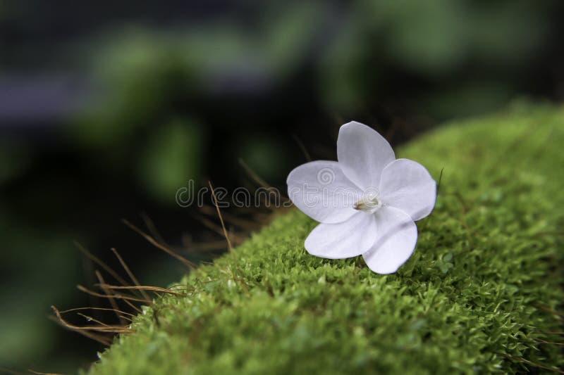 Little white flower on moss. royalty free stock image