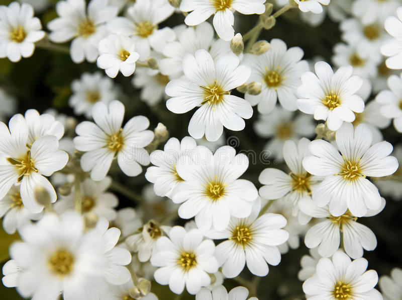 Little white flowers. Close-up stock photos