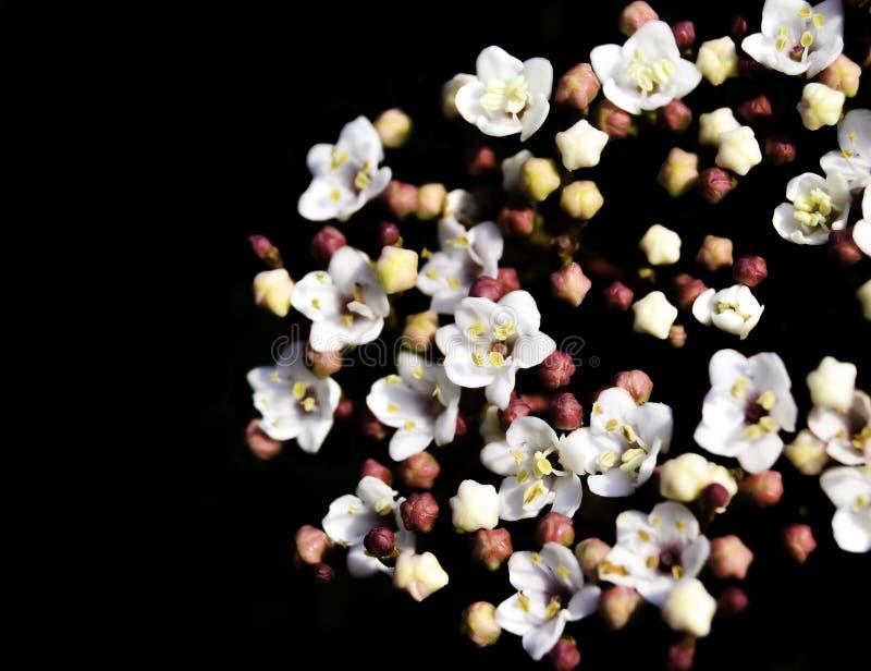 Little White Flowers. White flower on black background stock photo