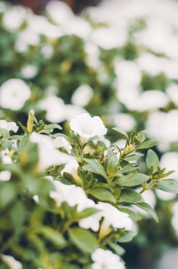 Little white flowers in the green leaves. Blooming flora. In the garden stock images