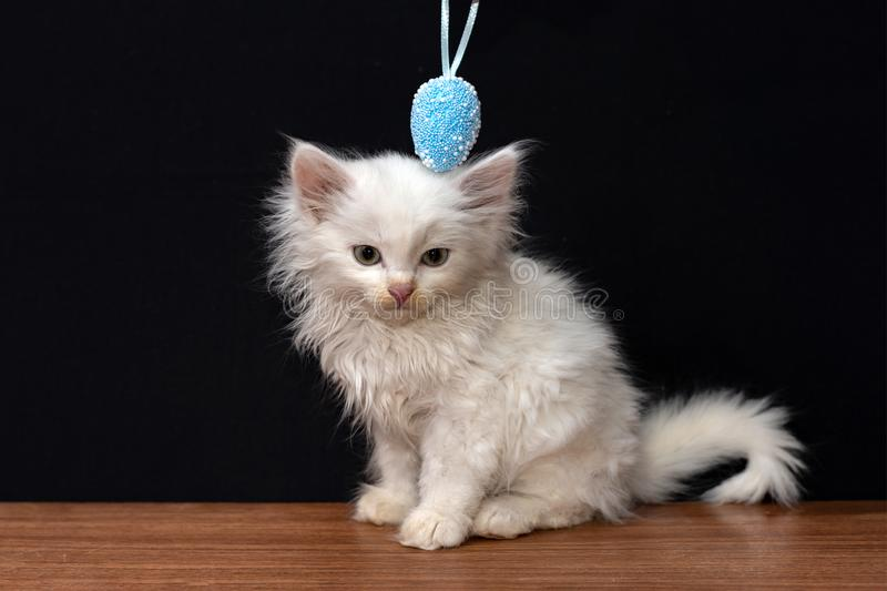 Little white fluffy cat playing with colorful toy eggs on a black background.  stock photography