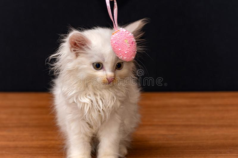 Little white fluffy cat playing with colorful toy eggs on a black background.  royalty free stock image