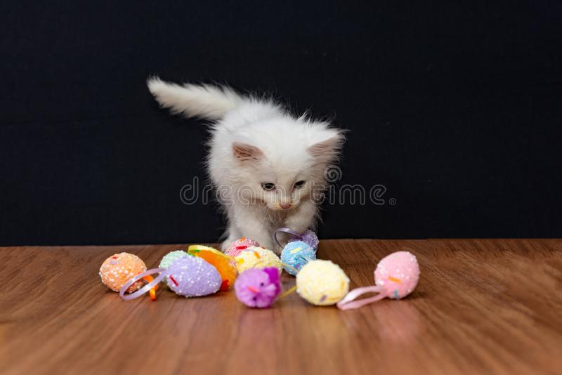 Little white fluffy cat playing with colorful toy eggs on a black background.  stock photo