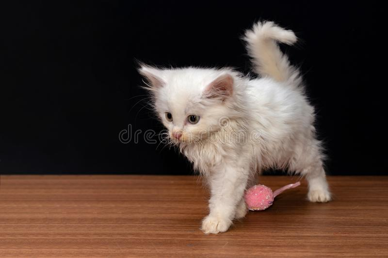 Little white fluffy cat playing with colorful toy eggs on a black background.  royalty free stock images