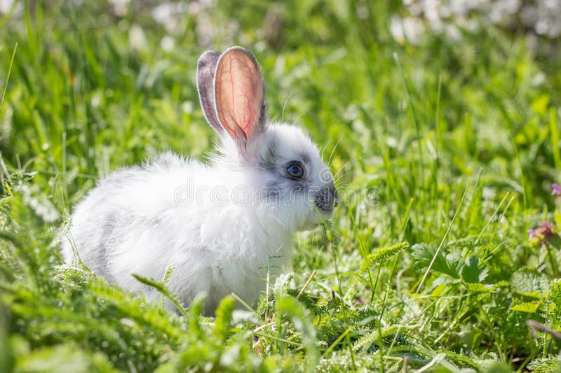Little white fluffy rabbit on green grass. Wild hare on a green meadow. stock photos