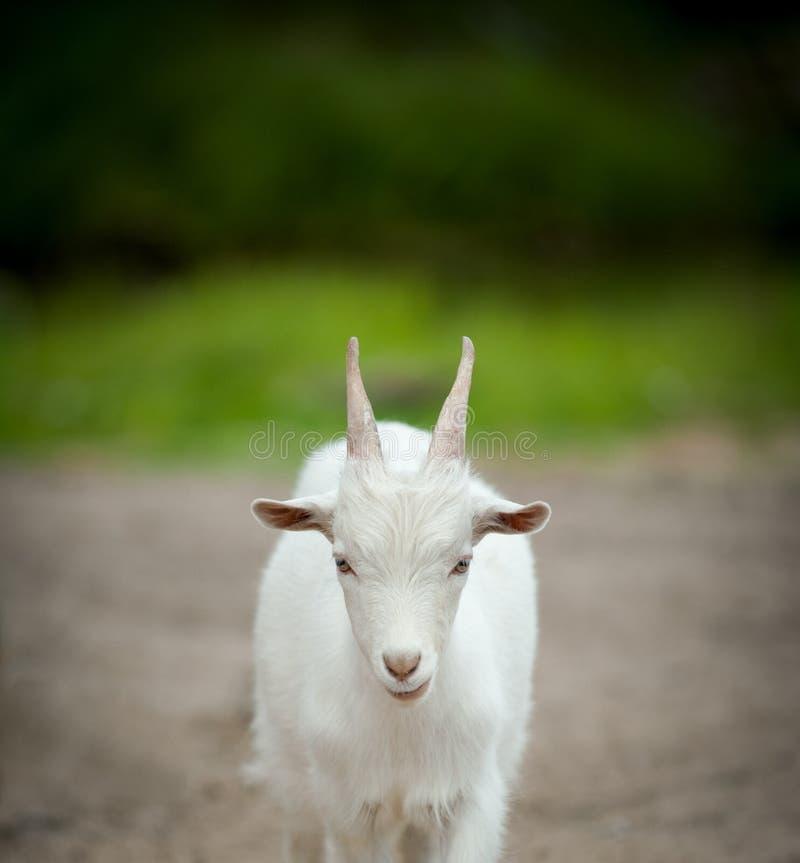 Little white goat stock photo