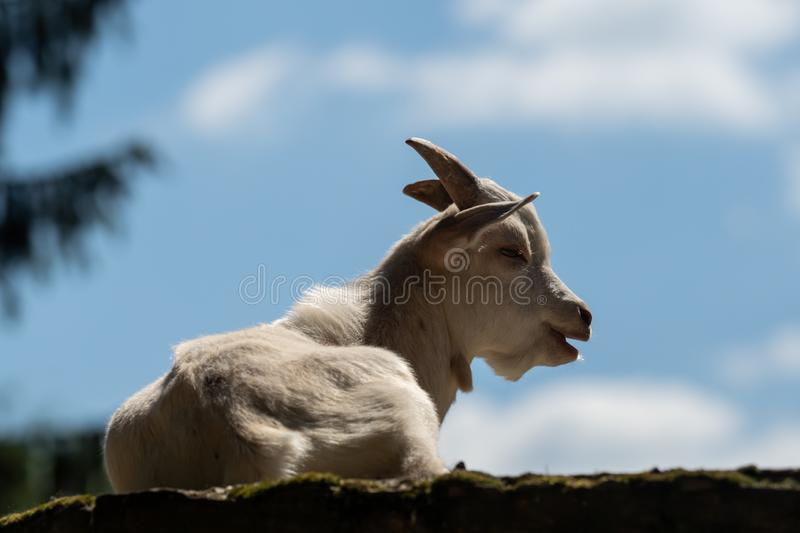 A little white goat outdoors in nature royalty free stock photos
