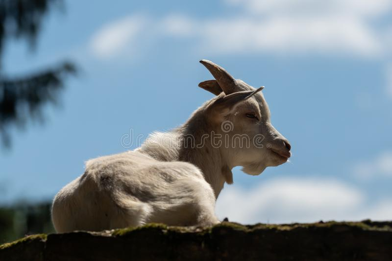 A little white goat outdoors in nature royalty free stock photo