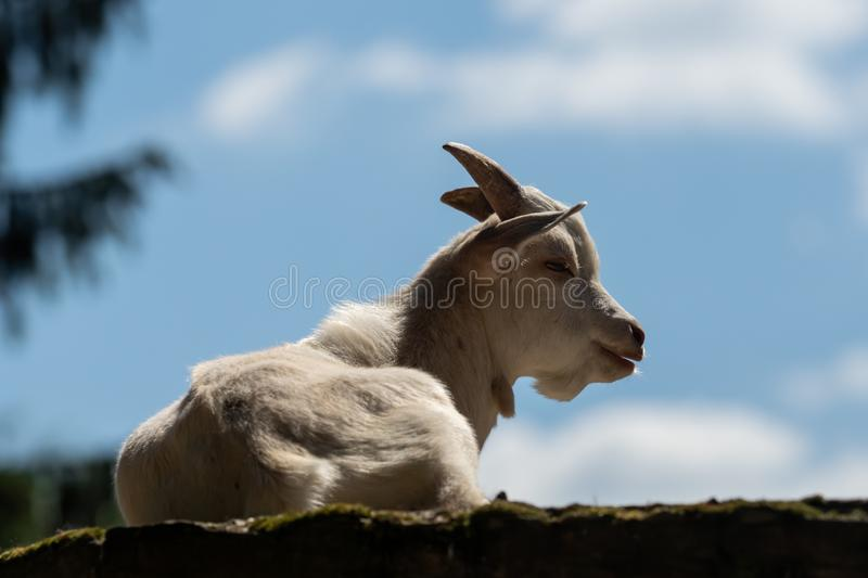 A little white goat outdoors in nature stock image