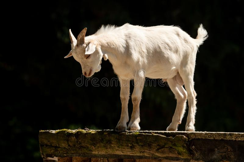 A little white goat outdoors in nature stock photography
