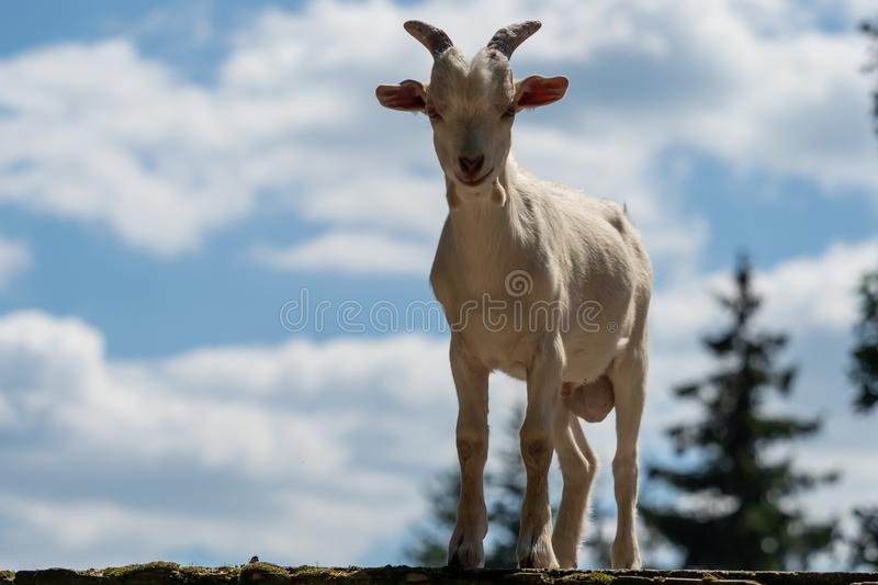 A little white goat outdoors in nature stock images